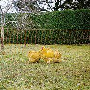 Síťová ohrada pro drůbež 50m, oranžová
